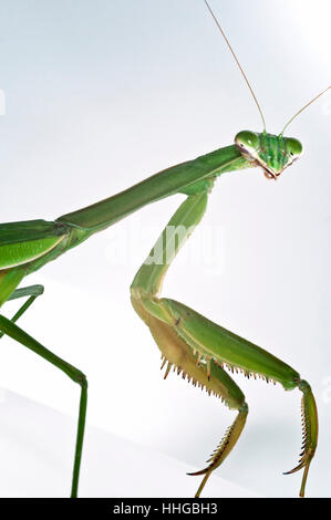 'Mantis religiosa' Praying Mantis insect portrait close-up macro - Stock Photo