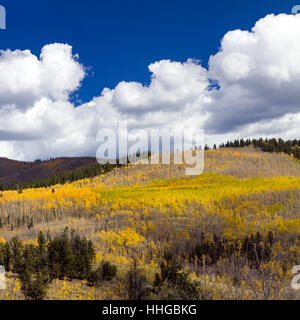 Huge forest of golden fall aspen trees on Kenosha Pass in the Colorado Rocky Mountains - Stock Photo