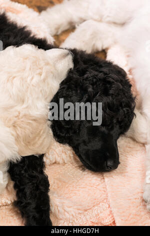 Black and white standard poodle puppies sleeping intertwined on a rug, six week old purebred dogs. - Stock Photo