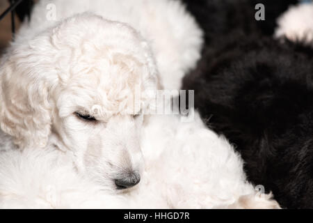 White poodle puppy with curly hair resting peacefully on litter mats, cute dogs at six weeks old, copy space. - Stock Photo