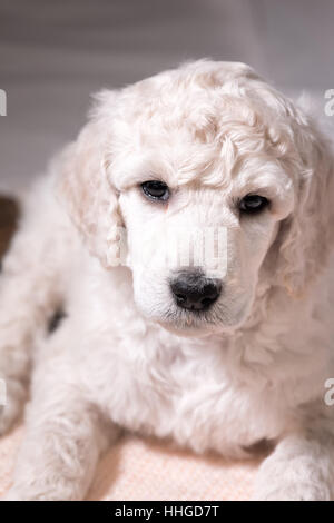 White poodle puppy looking at camera in frontal close up, cute dog with curly fur at six weeks old, brown eyes with - Stock Photo