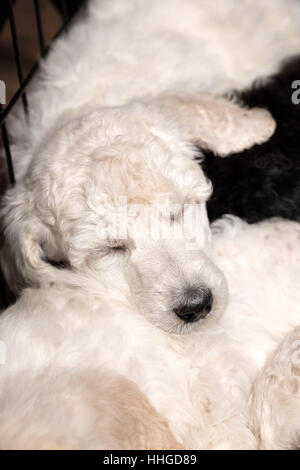 Poodle puppies sleeping peacefully on litter mats, close up of cute young purebred dogs at six weeks old. - Stock Photo