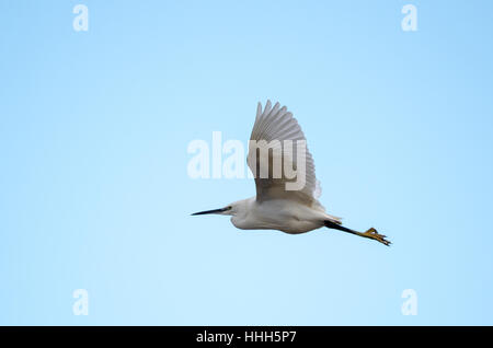 A Little Egret (Egretta garzetta) flying against a blue sky - Stock Photo