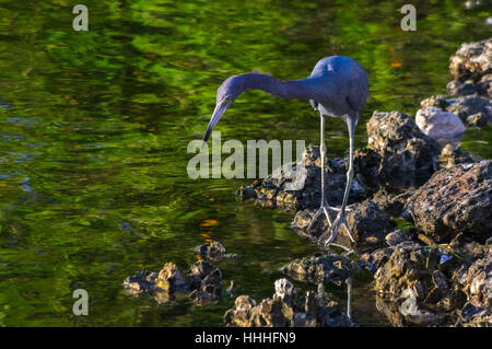 A little blue heron fishing for food near the shoreline at Sanibel Island in Florida. - Stock Photo