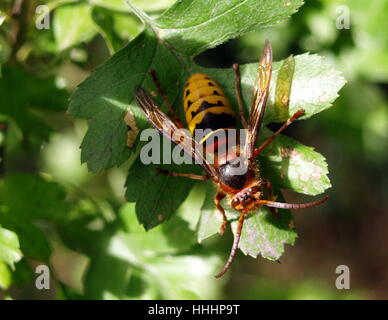 legs, insect, wing, striated, wasp, nature, legs, leaf, tree, insect, eyes, - Stock Photo