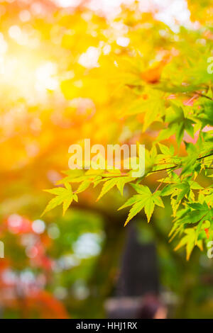 Beautiful Maple Leaf in Japan Autumn in the Morning Light for background. - Stock Photo