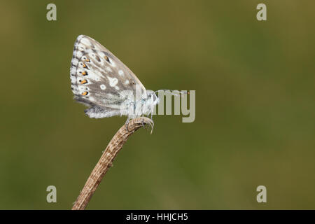 Chalkhill Blue (Polyommatus coridon) - female perched on a plant, set against a clean green background - Stock Photo