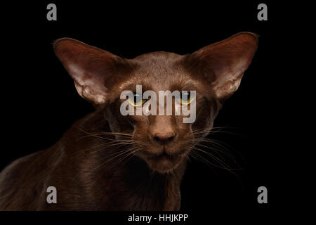 Brown Oriental cat on isolated black background - Stock Photo
