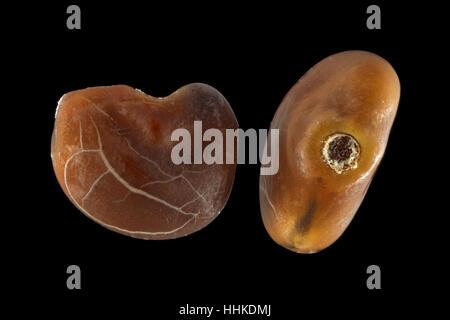 Glycyrrhiza glabra, Liquorice, Echtes Süssholz, seeds, close up, seed size 2.0-2.5 mm - Stock Photo