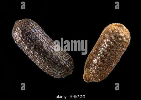 Hypericum perforatum, St John's wort, Echtes Johanniskraut, seeds, close up, seed size 0.8-1.2 mm - Stock Photo