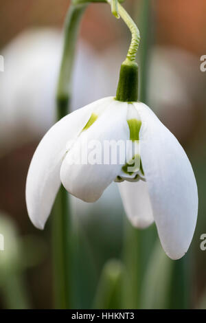 Single winter  flower of the hardy double snowdrop, Galanthus 'Richard Ayres' - Stock Photo