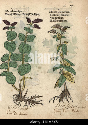 Curled mint, Mentha spicata, and horse mint, Mentha longifolia. Handcoloured woodblock engraving of a botanical - Stock Photo