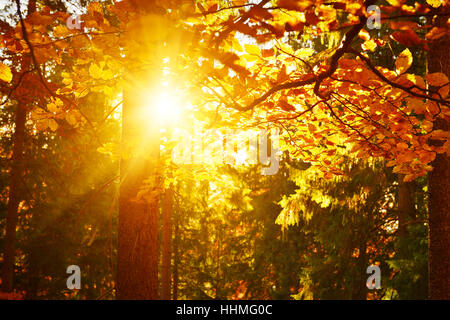 Warm sunlight in autumn leaf forest - Stock Photo