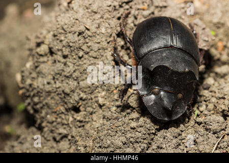 Beetle, Tri Horned Beetle (Catharsius molossus) on the ground - Stock Photo
