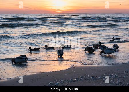 Mallards on beach, sunrise, Seebad Bansin, seaside resort, Usedom, Baltic Sea Coast, Mecklenburg-Western Pomerania, - Stock Photo