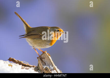 European robin or robin redbreast (Erithacus rubecula) perched on snowy branch, Biosphere Reserve Swabian Alb - Stock Photo