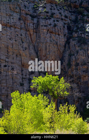 Cottonwood trees in sunlight below sandstone cliff along the Escalante River. Grand Staircase-Escalante National - Stock Photo