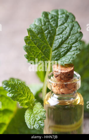 Aromatic oils of lemon balm in a glass bottle with fresh leaves macro. vertical - Stock Photo