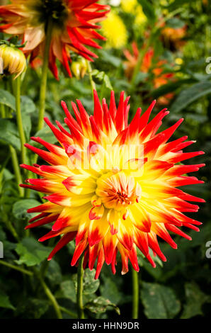 Dahlia Kenora Sunset flowering in September in UK - Stock Photo