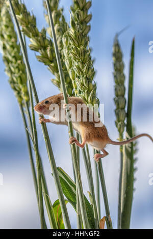 Harvest Mouse ( Micromys minutus ) climbing on wheat in Autumn / Fall - Stock Photo