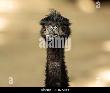 A close up portrait picture of an emu looking straight into the camera - Stock Photo