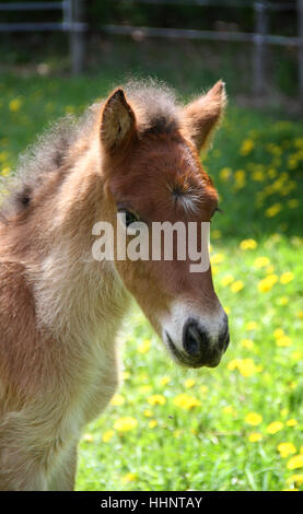 A portrait of a young Icelandic horse foal in spring pasture - Stock Photo