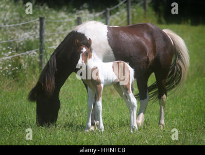 A pinto Icelandic horse mare and her newborn bay pinto foal - Stock Photo