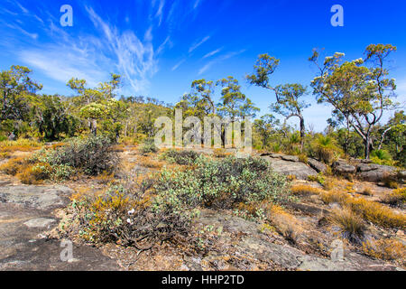 Flowering Eucalyptus trees growing in bushland on granite outcrops at Mount Dale. Darling Scarp, Perth, Western - Stock Photo
