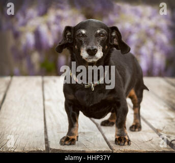 Small senior mini full body dachshund wiener dog stands on wooden deck with lavender wisteria vines blurred in the - Stock Photo