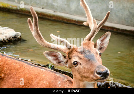 Young spotted redheaded deer with a wet muzzle at a watering place - Stock Photo