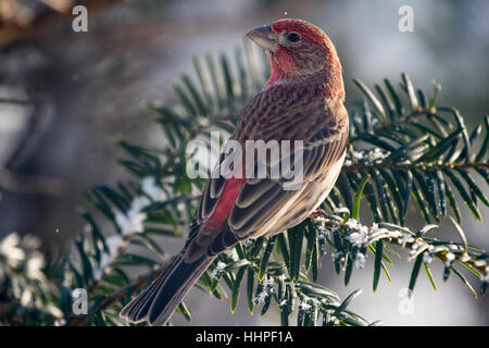 House Finch male - Stock Photo