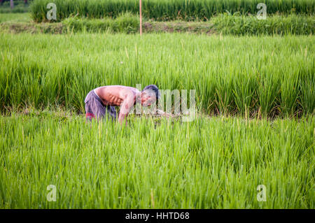 Man working in a rice field, ubud, Bali, Indonesia - Stock Photo