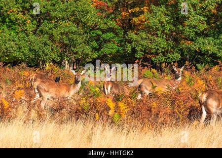 Herd of red deer in Richmond Park, London - Stock Photo