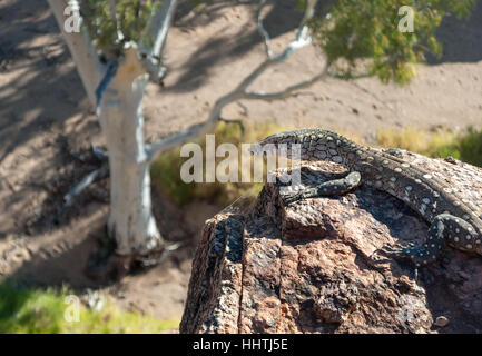 Australian lizard standing on a rock in the outback - Stock Photo
