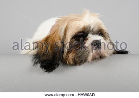 Shih Tzu Puppy on  grey background - 6 months old - Stock Photo