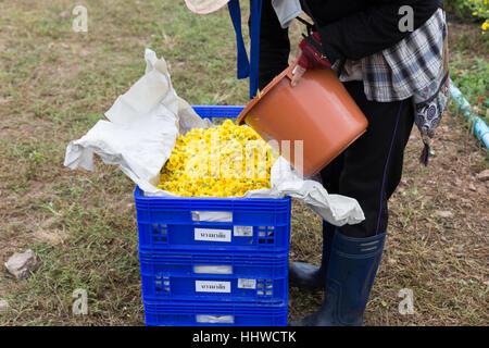 Chiang Mai, Thailand - November 28, 2016: unidentified farmer harvesting Chrysanthemum flower for producing tea in Maejo farm in Chiang Mai, Thailand