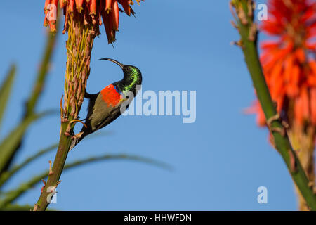 Male greater double collared sunbird perched at a flower in Garden Route National Park, South Africa - Stock Photo