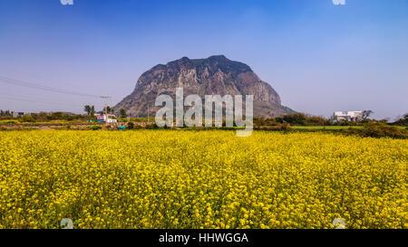 Canola field at Jeju-do Sanbangsan, Jeju, South Korea - Stock Photo