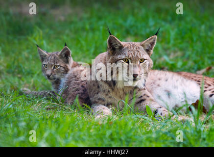 Lynx (Lynx lynx) family, mother with young in the grass, captive, Bavaria, Germany - Stock Photo