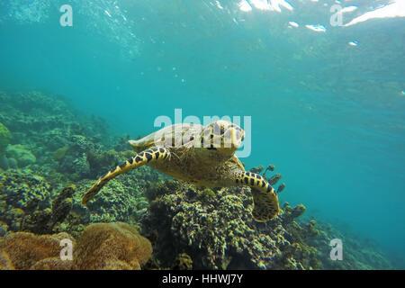 Green Turtle (Chelonia mydas) swims over reef, Seychelles - Stock Photo