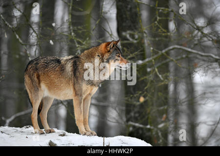 Eastern wolf (Canis lupus lycaon) in snow, captive, Baden-Württemberg, Germany - Stock Photo