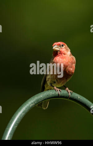 House Finch perched. - Stock Photo