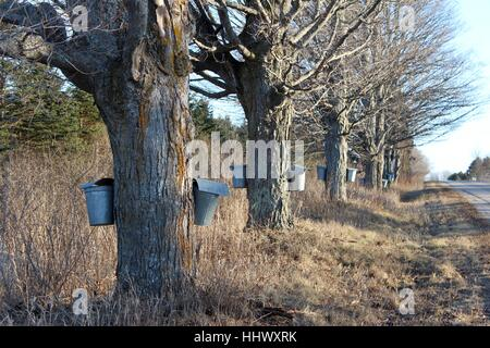 A Row Of Old Maple Trees Being Tapped In Early Spring - Stock Photo
