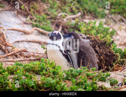 African Penguin family at Boulder Beach in Simon's Town, South Africa - Stock Photo