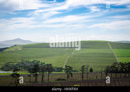 View of the vineyards at Durbanville Hills