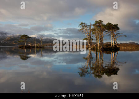 2 islands on Loch Assynt with Pine trees growing on them and snow capped mountains in the back ground. - Stock Photo