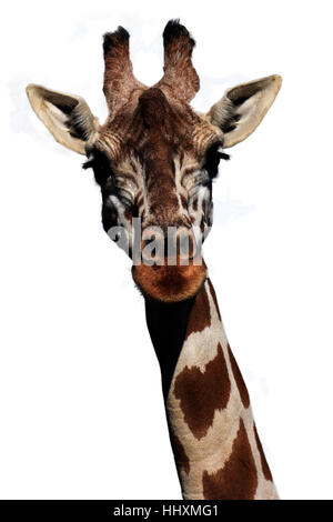 Giraffe head isolated on the white background - Stock Photo