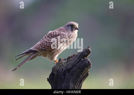 Kestrel, Falco tinnunculus perched on a post - Stock Photo