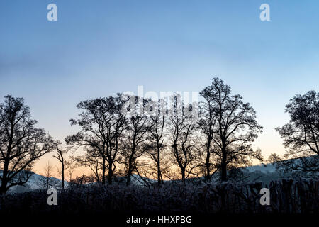 Alder (Alnus glutinosa) trees in silhouette at sunrise in Wales. Brecon Beacons National Park, UK. January - Stock Photo