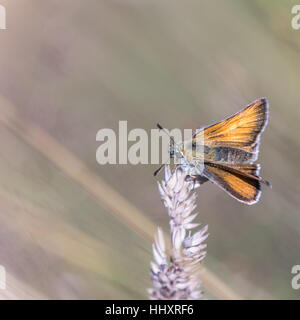 Small Skipper Butterfly ( Thymelicus sylvestris ) perched on Grass - Stock Photo